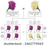 mendel genetic concept crossing ... | Shutterstock .eps vector #1462774565