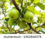 Small photo of Apple branch with green apples, one of which is worm-eaten.