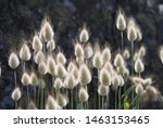 Stock photo lagurus ovatus commonly called hare s tail hare s tail grass or bunnytail this is a macro 1463153465
