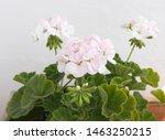 Geranium Zonal   Pelargonium...