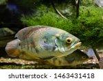 The Beautiful Bright Oscar Fish ...