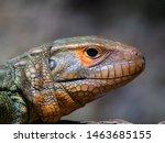 Caiman Lizard Resting In Tree