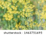 Fresh Green Dill With Yellow...