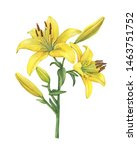 Branch With Lilium Yellow...