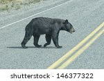 A Black Bear Crossing The Road...