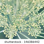 fennel  foeniculum vulgare .... | Shutterstock . vector #146386442