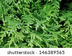 Green Background  Arborvitae I...