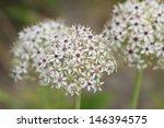 flowering leek  allium nigrum ... | Shutterstock . vector #146394575