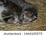 Stock photo newborn blind kittens sleep in the nest 1464105575