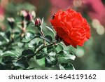 Stock photo red rose flower bloom on a background of blurry red roses in a roses garden 1464119162