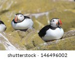 puffin nests on the cliffs on... | Shutterstock . vector #146496002