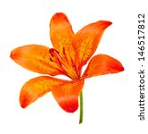 Small photo of Tiger Lily isolated on white background