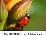 Ladybug Is Sitting On A Yellow...
