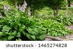 Hosta Plant In Garden....