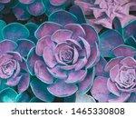 Succulent Echeveria Close Up....