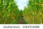 Small photo of A corn maze or maize maze - maze cut out of a corn field. Narrow path inside a corn maze. Footpath between stalks and leaves on the corn field. Popular tourist attraction