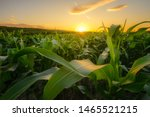 Young Green Corn Growing On The ...