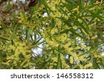 Small photo of Acacia iteaphylla or Flinder's range wattle in dainty soft yellow bloom in mid winter is a quick growing screening hedge tree in Australian dry climatic conditions.