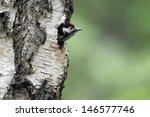 great spotted woodpecker ...   Shutterstock . vector #146577746
