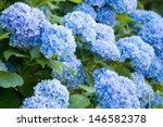 hydrangea | Shutterstock . vector #146582378