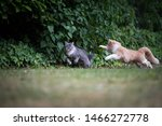 two young playful maine coon cat running chasing each other in the garden. one cat is blue tabby with white paws and the other is beige white ginger colored