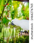 View At White Cockatoo  Cacatua ...