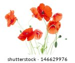 Corn Poppies With Seed Pods An...
