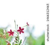 Red Flower  Combretum Indicum ...