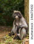 dusky leaf monkey sitting on a... | Shutterstock . vector #146672432