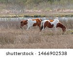 Chincoteague Ponies In A...