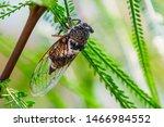Cicada Insect. Cicada Closeup...