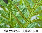 Fern Leaf And Spore Close Up.