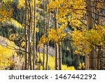 Golden Quaking Aspen Trees In...