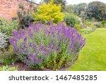 Large Plant Of Purple Cat Mint...