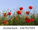 Poppies Flowering Latin Papaver ...