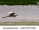 The Little Egret Flying ...