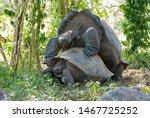 Stock photo giant galapagos tortoises mating outdoors 1467725252