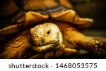 Stock photo tortoise sunbathe on ground with his protective shell african spurred tortoise in the garden 1468053575