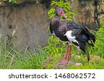 A Spur Winged Goose ...