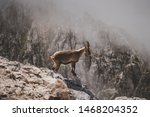 Wild Isolated Ibex Standing On...