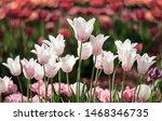 White tulip flowers bloom in...