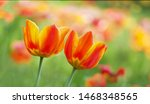 Two Tulip Flowers Bloom In...