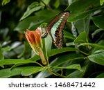 A Common Bluebottle Butterfly ...