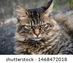 A Feral Stray Cat Sits On A...