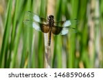 Male Widow Skimmer Dragonfly...
