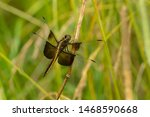 Female Widow Skimmer Dragonfly...