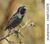 Starling singing his heart out. ...