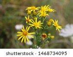 Small photo of Ragwort or common ragwort or stinking willie or tansy ragwort benweed (Jacobaea vulgaris or Senecio jacobaea) bright yellow flowers close up