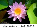 Beautiful Old Rose Pink Lotus...