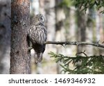 Stock photo  great gray owl strix nebulosa sitting on a branch in the forest the great gray owl is a very 1469346932